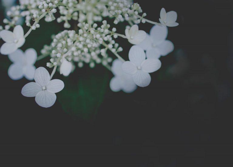 hortensia skötsel