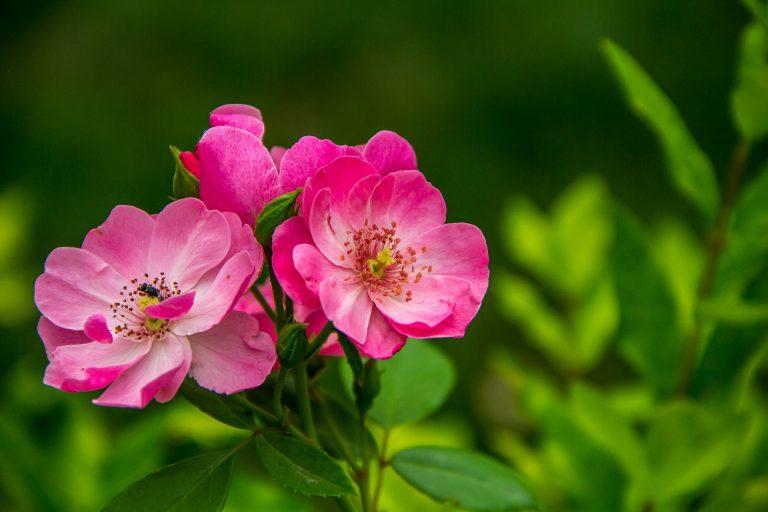 rosor skötsel